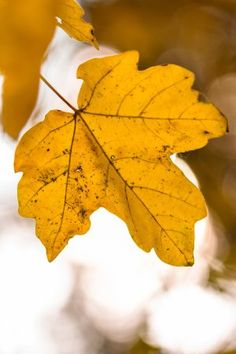 Fall leaves - free stock photo #freeimages #freestockphotos