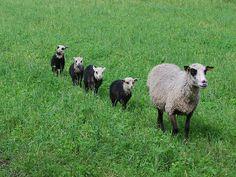 Sheep So cute! Sheep Farm, Sheep And Lamb, Farm Animals, Animals And Pets, Cute Animals, Wild Animals, Alpacas, Beautiful Creatures, Animals Beautiful