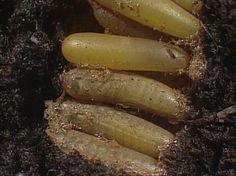 Een sprinkhaanvrouwtje boort een gat in zachte grond. Daarvoor gebruikt ze een…