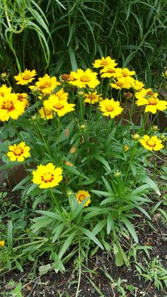 Coreopsis Rising Sun. Excellent heat and drought tolerance once established.  Attracts butterflies and Bees.