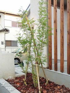 植栽 シンボルツリー 常緑樹 シマトネリコ