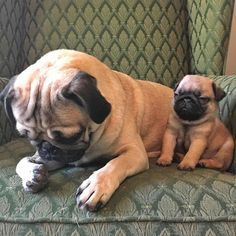 "Doug The #pug on Instagram: """"When ur mad at ur friend for getting way too drunk at the party"" -Doug"""
