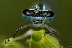 Azure Damselfly  by Ringhio Macro Photography #InfluentialLime