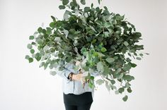 Silver Dollar Eucalyptus   Wit & Delight