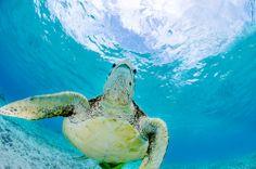 Green sea turtle cruising along