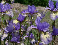 Siberian Iris Banish Misfortune - Photo by Ensata. com