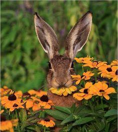 Hare eating coneflowers