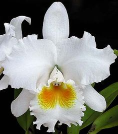 A Canadian source for orchids, specializing in paphs, phrags, dendrobiums and many Unusual Flowers, Wonderful Flowers, Beautiful Roses, Beautiful Flowers, Orchid Seeds, Orchid Plants, Orchids, Orchid Drawing, Cattleya Orchid