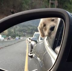 A video posted by Grayson (@graysongrowsup) on Nov 27, 2016 at 7:43pm PST (DOGS/PETS/ CUTE ANIMAL VIDEOS) Grayson the Golden Retriever knows exactly what it's like to be stuck in traffic on the Pacific Coast Highway. In fact, he just might hate traffic more than we do. For more of Grayson, follow him on Instagram @ graysongrowsup. — Global Animal Love animals? You may be interested in –