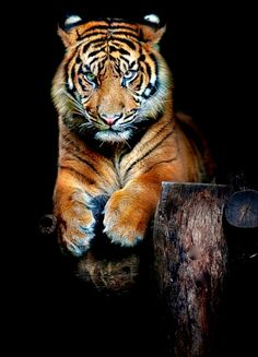 Magnfique tigre  Pinterest: ♡Angel ♡