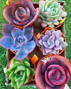 """helloyounglionsxo: """"Hi can we please talk about the total awesomeness of echeveria? It's my favourite succulent species - it's hardy and beautiful and comes in so many different colours, shapes and patterns. Each of these six are different breeds of. Succulent Gardening, Succulent Pots, Cacti And Succulents, Planting Succulents, Planting Flowers, Growing Succulents, Cactus Planta, Cactus Y Suculentas, Miniature Plants"""