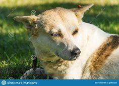 Stray Dog Portrait In A Park Stock Photo - Image of adult, canine: 144020306 World Images, Dog Portraits, Stray Dog, People Around The World, Make You Smile, Photo Editor, Royalty Free Images, Sunny Days, Labrador Retriever