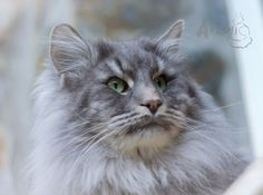 Arashi Connor ♠ Norwegian Forest Cat ♠ 3,5 years old ♠ From my breed.