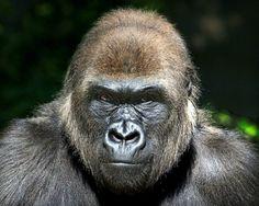 Mrs. Gorilla