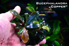 "Bucephalandra ""copper"""