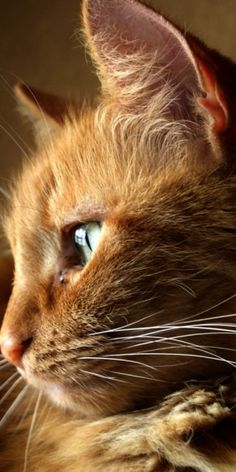 """""""Cats come and go without ever leaving."""" --Martha Curtis This looks just like my beautiful princess Peaches who just recently passed, love you forever, girlie!"""