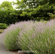 Provence French Lavender (Lavandula x intermedia 'Provence') - Monrovia - Provence French Lavender (Lavandula x intermedia 'Provence') Wait until new growth appears in the spring before removing winter die back.