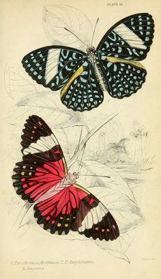 1858 - Foreign butterflies by James Duncan, Sir William Jardine, via bhl