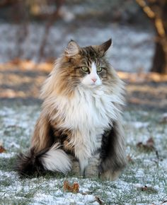 Embla - A Beautiful Norwegian Forest Cat (This was the kind of cat Cutie was)