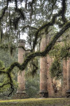 Boughs of a Spanish Moss-covered Live Oak tree in front of the Old Sheldon Church Ruins, Beaufort County, South Carolina