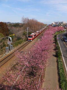 京急沿線に咲く河津桜