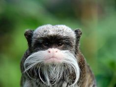 The Emperor tamarin is a small species of monkey found in the forests of South America. The Emperor tamarin was named because of it's elegant white moustache, which is thought to resemble that of German emperor Wilhelm I Woodland Creatures, Cute Creatures, Beautiful Creatures, Animals Beautiful, Pretty Animals, Primates, Mammals, Funny Looking Animals, Funny Animals
