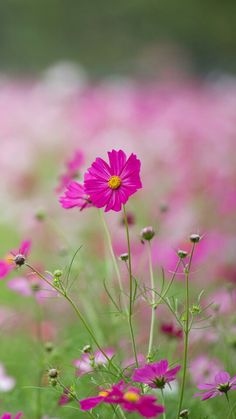 Cosmos Flowers, May Flowers, Growing Flowers, Spring Flowers, Wild Flowers, Beautiful Flowers, Dslr Background Images, Daisy Love, Unique Plants