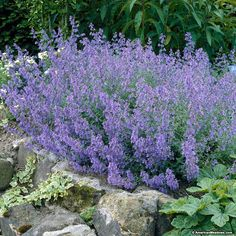 Catmint Kit Kat is a dwarf Nepeta variety with small grey-green foliage. The blue aromatic blooms are highly fragrant and will attract winged friends while deterring deer. Lush, blue flower spikes start to appear in late spring and continue on through mid-summer. Small in size, this is a great perennial to add to your garden border. (Nepeta faassenii)