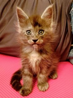 Rascal Maine Coon, Cats And Kittens, Cute Cats, Desserts, Animals, Pretty Cats, Tailgate Desserts, Deserts, Animales