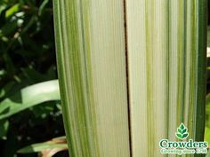 Phormium Yellow Wave or New Zealand Flax Perennial 2-3L