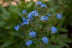 Anchusa capensis 'Blue angel'