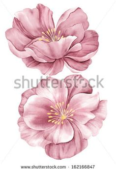 watercolor illustration purple poppies in simple background