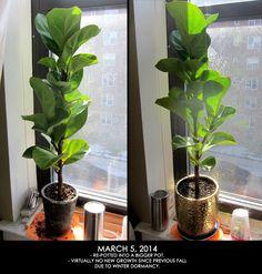 Fiddle Leaf Fig Update - >> joeandcheryl.com <<