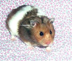 Teddy Bear Hamsters  Banded tri-color, long haired. This is the one I want!  Sooo cute!