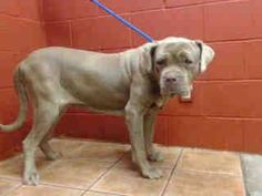 LOLA WAS ADOPTED YEARS AGO FROM DOWNEY AND NOW THAT SHE IS 8 SHE WAS DUMPED BACK AT THE POUND! PLEDGES NEEDED FOR RESCUE! A3694859 My name is Lola and I'm an approximately 8 years, 1 month old female neapolitan mast. I am not yet spayed. I have been at the Downey Animal Care Center since January 9, 2015. D535. https://www.facebook.com/photo.php?fbid=803430056403995&set=pb.100002110236304.-2207520000.1422466531.&type=3&theater
