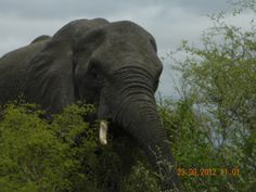 Elephant in Kruger National Park, South Africa Kruger National Park, National Parks, South Africa, Elephant, Places, Nature, Animals, Beautiful, Naturaleza