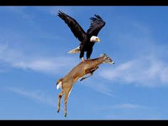 Strategic Hunting of Eagle, king of Birds