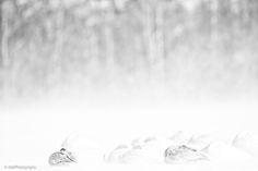 Whooper swan taken during the Japan Winter photo tour