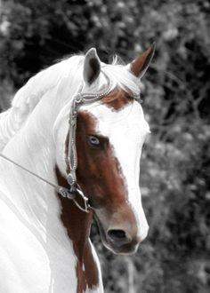 Gorgeus Overo with blue eyes!