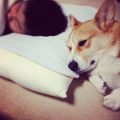 We are brothers... #dog #corgi