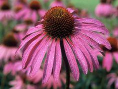 Der Rote Sonnenhut ist eine der wirksamsten Heilpflanzen zur Stärkung des Immunsystems.