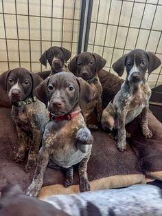 German Shorthaired Pointer puppy for sale in MORENO VALLEY, CA. ADN-62333 on PuppyFinder.com Gender: Female. Age: 6 Weeks Old #germanshorthairedpointerpuppy