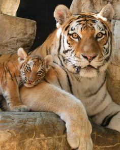 Mama Siberian tiger with cub born June 22, 2010