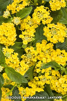 Luscious Bananarama Lantana is very drought and heat tolerant and is also a native cultivar. An easy care plant that adds color all season long. Perrenial Flowers, Lantana Plant, Perennial Flowering Plants, Perennials, Yellow Plants, Yellow Flowers, Summer Plants, Summer Garden, Honeycrisp Apple Tree