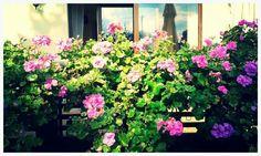 Ogród pełen pelargoni