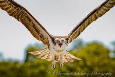 Osprey. J. Bernado Sanchez, Photographer