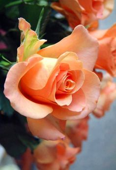 Coral roses via Carol's Country Sunshine on Facebook