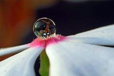 An ant in a droplet of water on a flower