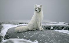 vacht, stenen, vos, sneeuw, witte vos, winter wallpaper