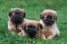 Pyrenean Shepherds / Berger des Pyrénées / Petit Berger / Pyrenees Sheepdog Herding Dogs, Purebred Dogs, Pyrenees Puppies, Dogs And Puppies, Dog List, Dog Breeds, Rare Breeds, Beautiful Dogs, Mans Best Friend